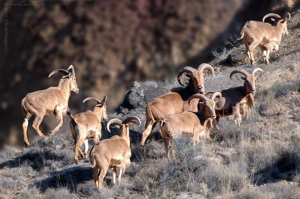 Aoudad Ram Sheep herd Palo Duro Canyon Texas
