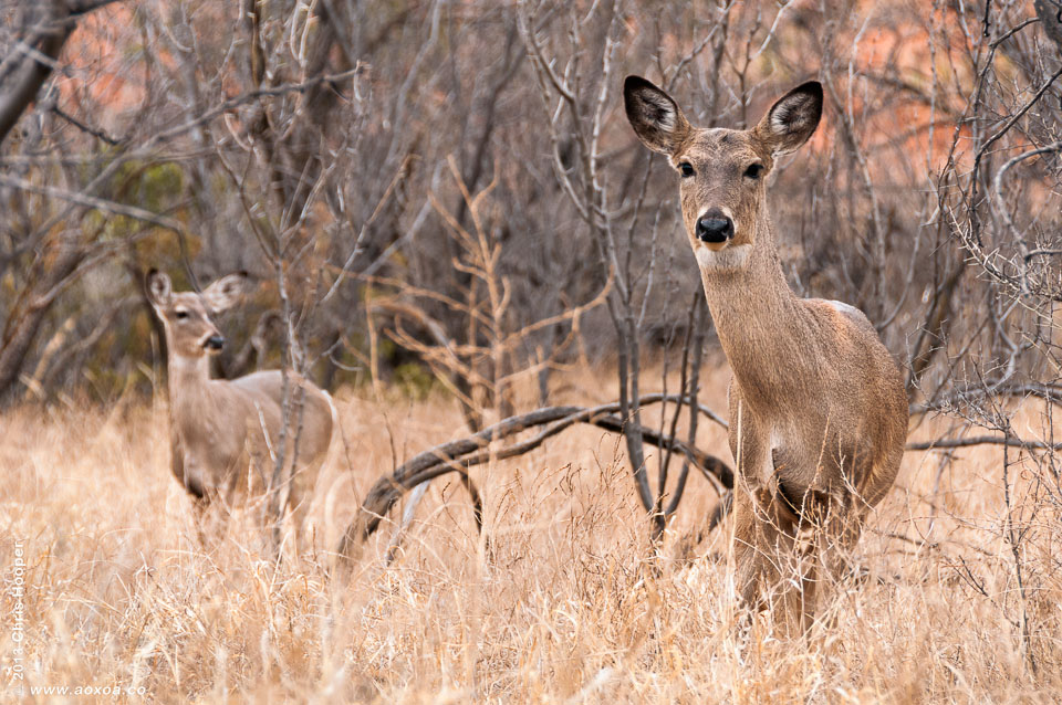 Two White Tail Deer
