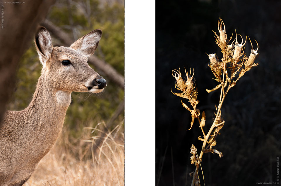 White Tail Deer and Dried Plant